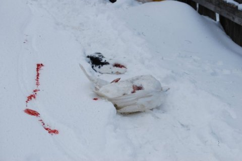 Carcasses Laying Around - Not for Food