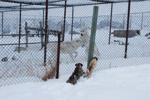 Brave Pugs